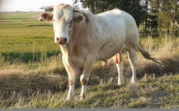 Blonde d'Aquitaine stado bydło mięsne jałówki, mamki, buhaj 100%