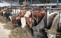 Byczki odsadki opasy mięsne krzyżówki 250kg+