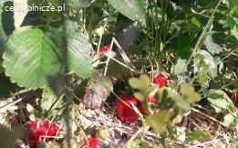 Grandarosa truskawki