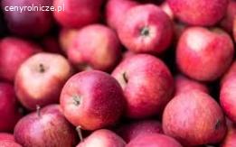 Grupa Gaik Kupi jabłka na sortownie.