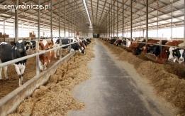 HF - krowy i jałówki holenderskie
