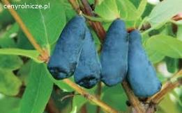 Jagoda kamczacka, borowka czarna, malina od 2 zl/kg. Grunty rolne pod uprawe 200 zl/ha