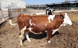 Krowy i jałówki simentalskie (simentale) czeskie