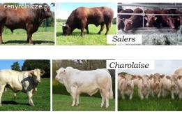 Oferujemy na eksport żywe byki (Francia) I gatunku