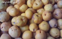 Owoce pigwowca japońskiego całe lub poszatkowane