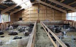 praca w stajni (owce)