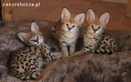 Serval i caracal kittens na sprzedaż