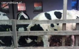 Sprzedam byczki
