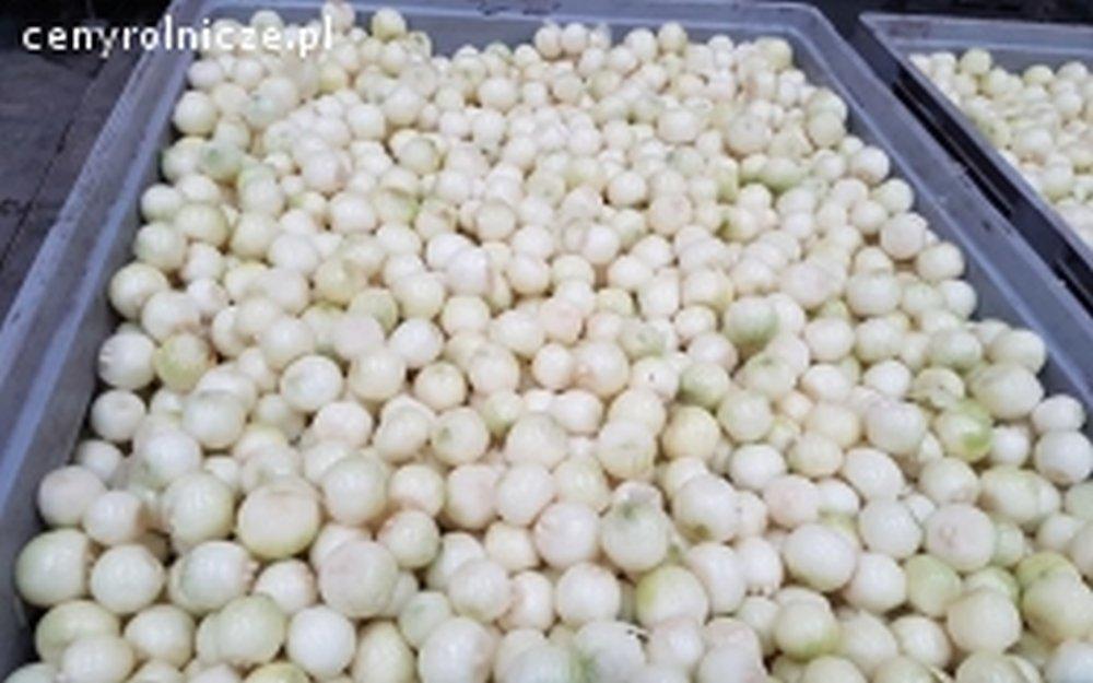 Sprzedam cebule obierana z certyfikatem GLOBAL GAP
