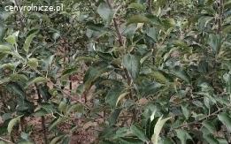 Sprzedam drzewka owocowe/jesień 2020