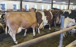 Sprzedam jałówki i krowy pierwiastki w atrakcyjnym finansowaniu !