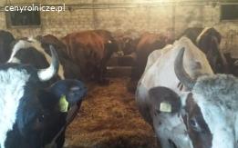 Stado krow mlecznych