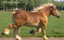 Ukraina. Ciezkie konie wlodzimierskie o duzej masie ciala w cenie zywca 3 zl/kg.Ulokowane w strefie