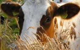 Ukraina.Krowy pierwiastki od 700 zl/szt.Mleko 4% cena 0,40zl