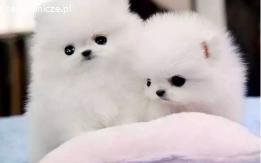 ZA DARMO, miniaturowe Pomeranian szczenieta