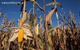 Zbiór kukurydzy na ziarno, koszenie, transport, atrakcyjna cena